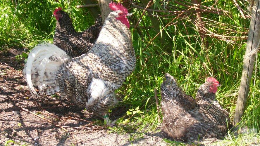 Wat weet jij over kippen?