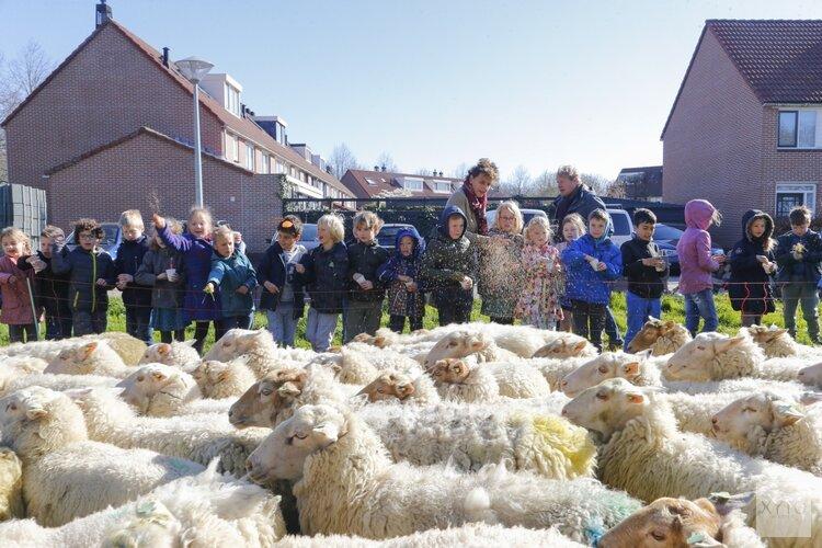 Stadsbegrazing in Hoorn door 250 schapen gestart