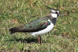 Weidevogelseizoen 2019 in Noord-Holland wisselend en heel gespreid