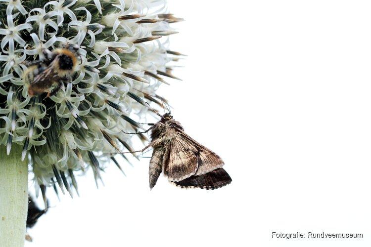 Nachtvlindertelling op 23 juni in Rundveemuseum Aartswoud