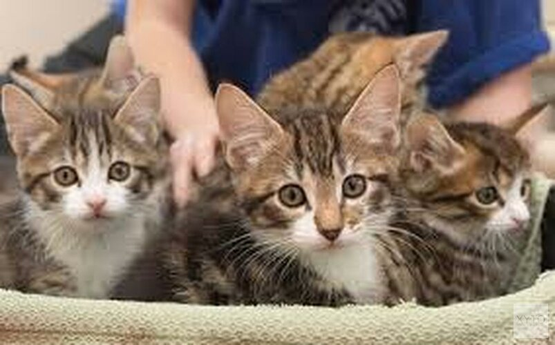 Dierenasiels in Den Helder en Hoorn overspoeld met kittens en zwangere poezen